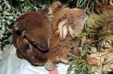 生殖器 コアラ の