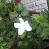 ホワイトジャスミンが咲いたの画像