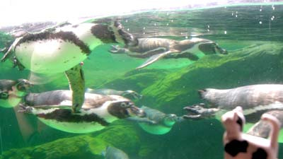 マグネッコ-フンボルトペンギンさんたちと