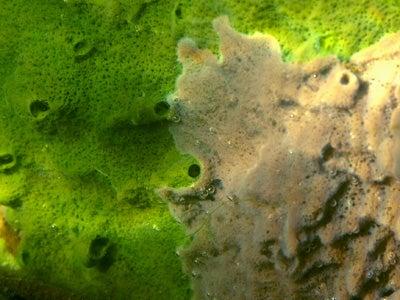 オカヤマのフィールドノート-タンスイカイメン2種