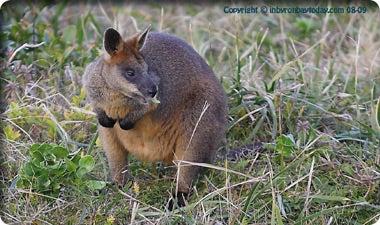 オーストラリア・バイロンベイでのナチュラルライフ-バイロンベイのワラビー