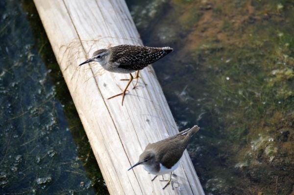 北海道の野生動植物写真-シギ