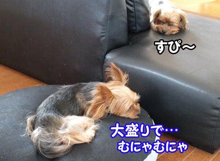 ハマっこヨーキー、うさ耳キュセとたれ耳リュック-4