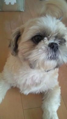 飼育放棄犬シーズー春香が教えてくれた、幸せな気持ちになる方法-200909191120000.jpg