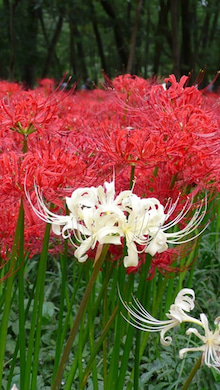 放浪デザイン旅日記-白の曼珠沙華こそまさに「天上の花」