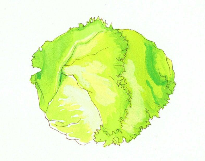 練習絵野菜レタス Iccoのイラスト創作