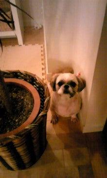 飼育放棄犬シーズー春香が教えてくれた、幸せな気持ちになる方法-090928_2342~01.jpg