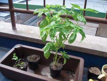 グリーン・グリーン♪水耕栽培・ハイポニカ栽培記-eプランターとスポン土でバジル栽培