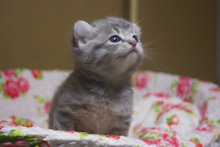 子猫がいっぱい♪アメリカンカール★MARINE's BLOG★