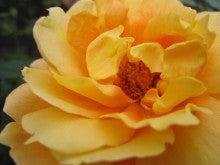 尋常ならぬ娘のオタクな映画日記-rose2