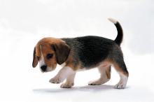 青いパパイヤの香り-犬