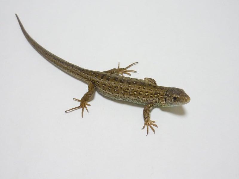 Lacerta Room Blog-アーガスニワカナヘビbaby