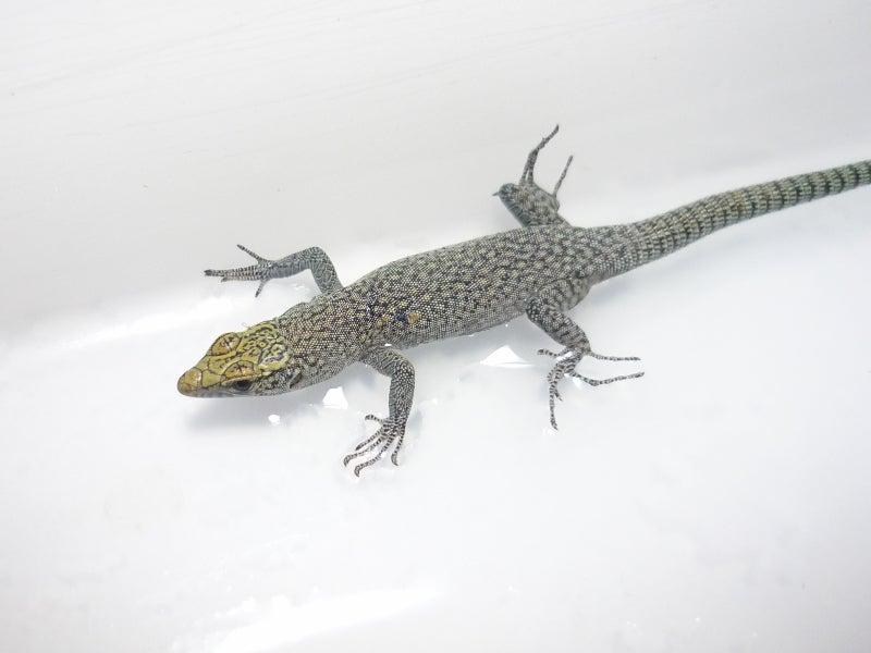 Lacerta Room Blog-ダルマチアトガリハナイワカナヘビ