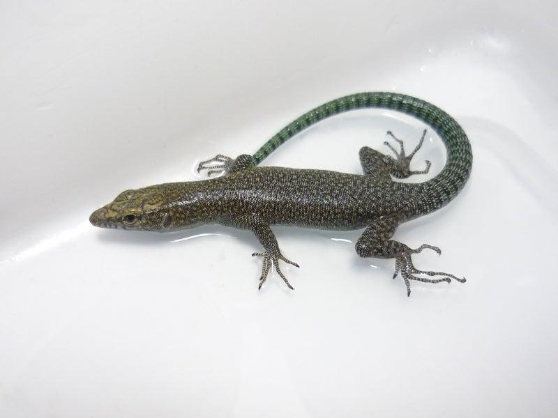 $Lacerta Room Blog-ダルマチアトガリハナイワカナヘビ