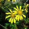 つわぶきの花の画像