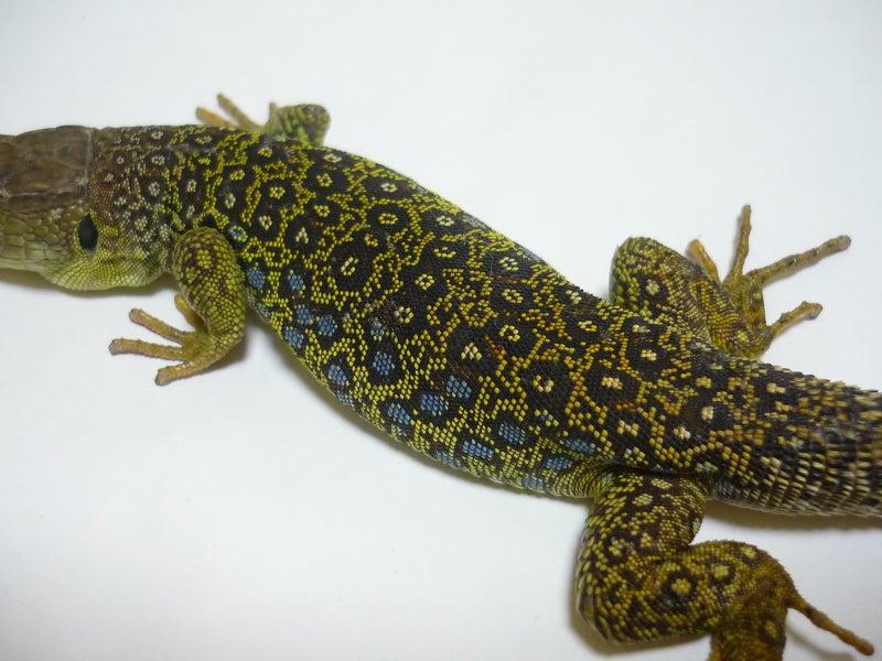 Lacerta Room Blog-イベリアホウセキカナヘビ♂
