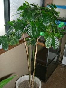 喜怒哀楽な私の日常-コーヒーの木