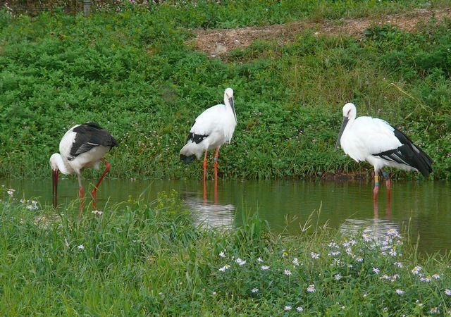 野鳥写真日記,ブログ Wild Bird Journal ,Blog-コウトリ5