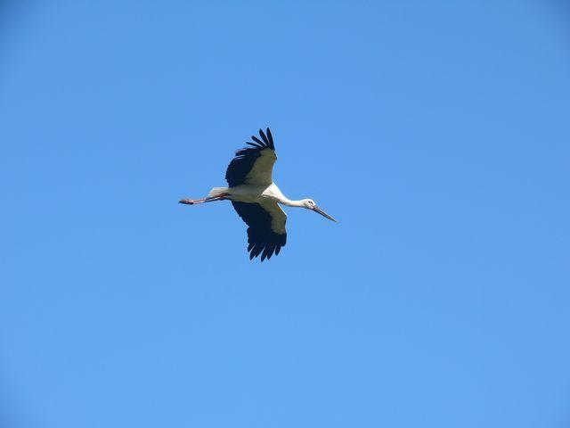 野鳥写真日記,ブログ Wild Bird Journal ,Blog-コウノトリ1