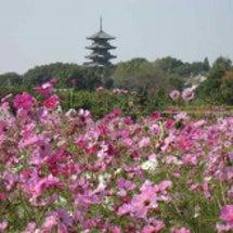 コスモスの咲く国分寺