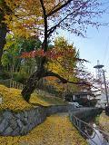 円居ママのブログ-城山下銀杏