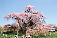 円居ママのブログ-滝桜4月
