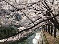 円居ママのブログ-桜