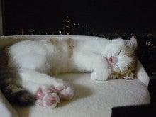 ペットショップAngel-Partner店長の日記-スコティッシュフォールドの小梅ちゃん