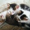 ★ 実家の子猫たちもこんなに大きくなったのね。。。の画像