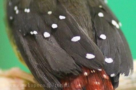 ようこそ!とりみカフェ!!~鳥の写真や鳥カフェでの出来事~-ベニスズメの背中
