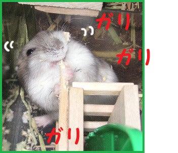 ユキとアオハムの飼育劇場-091205-4