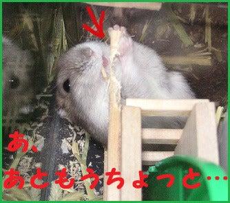 ユキとアオハムの飼育劇場-091205-5