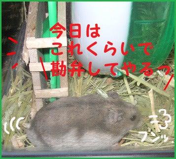 ユキとアオハムの飼育劇場-091205-7