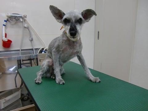 犬の美容室ゆうちゃんのブログ|愛知県豊明市-ローりィちゃん