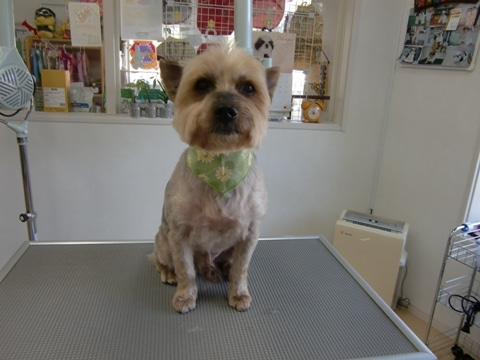 犬の美容室ゆうちゃんのブログ|愛知県豊明市-ラッキーちゃん