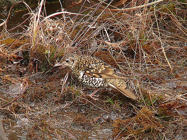 野鳥写真日記,ブログ Wild Bird Journal ,Blog