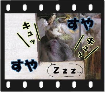ユキとアオハムの飼育劇場-100110-1