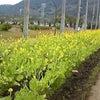 指宿菜の花マラソン行ってきました♪の画像