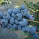 【2020年評価】ブルーベリーの品種6 ブルーレカの記事より