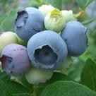 【2020年再評価】ブルーベリーの品種7 ヌイの記事より
