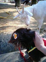 山羊とココア