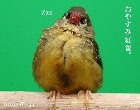 ようこそ!とりみカフェ!!~鳥の写真や鳥カフェでの出来事~-お休みベニスズメ