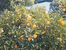"""""""「輝きたいあなた」から「輝くあなた」へ"""" の幸せ実現サポートブログ   ~セルジュ・フォレスト~-キンカンの木"""