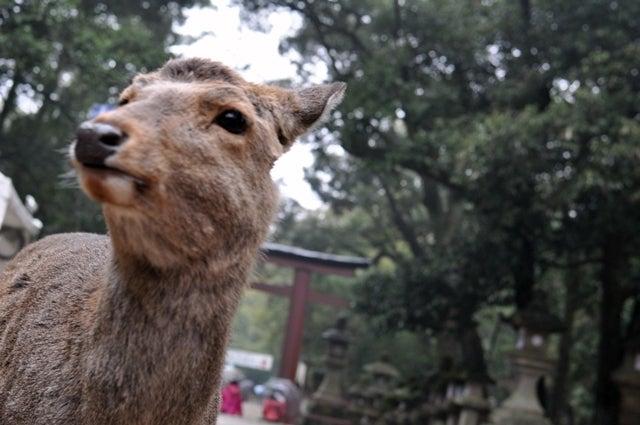 茶々吉とデジ一 のんびり旅-2010/1/31春日大社鹿