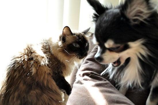チワワと大型猫3匹の共同生活