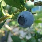 【2020年評価】パルメット◆ブルーベリーの品種15の記事より