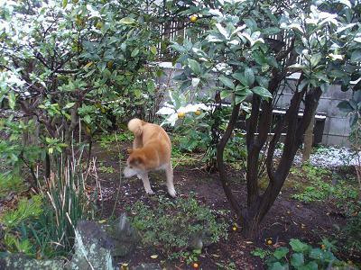 南米で日本犬を探そう! ~ブラジル・サンパウロに暮らす~-庭駆け回り