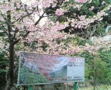 $遥香の近況日記-河津桜
