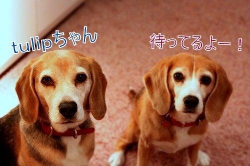 ザ☆ビーグルズ エディ&ルーシー-0301-4