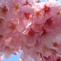 伊豆・伊東の桜!!